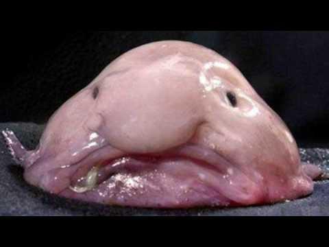 The Blobfish