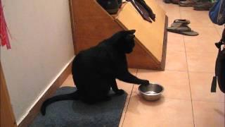 Кот гремит своей пустой миской. Cat playing with his empty food bowl.