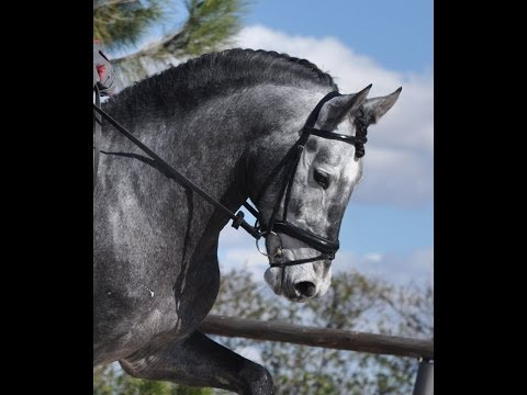 NILO SU - PRE STALLION 7 MONTHS' TRAINING - ANDALUSIAN HORSE