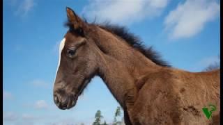 простой способ лечения пупочных грыж у лошадей, simple way to treat umbilical hernia in horses