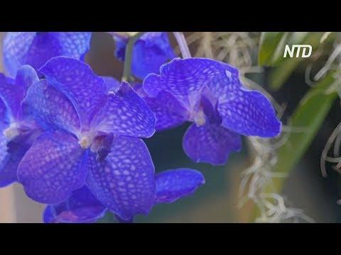 Тысячи орхидей цветут