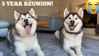 Husky Reunited With Her Puppy For The First Time In 5 Years! [CUTEST VIDEO EVER!]