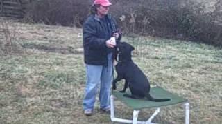 Young Labrador Retriever Training, Fetch And Hold