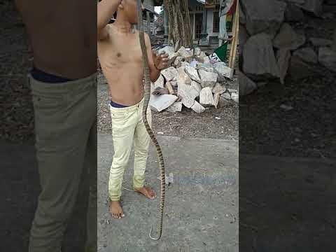 Cara tangkap ular dengan rsiko minim digigit untuk pemula