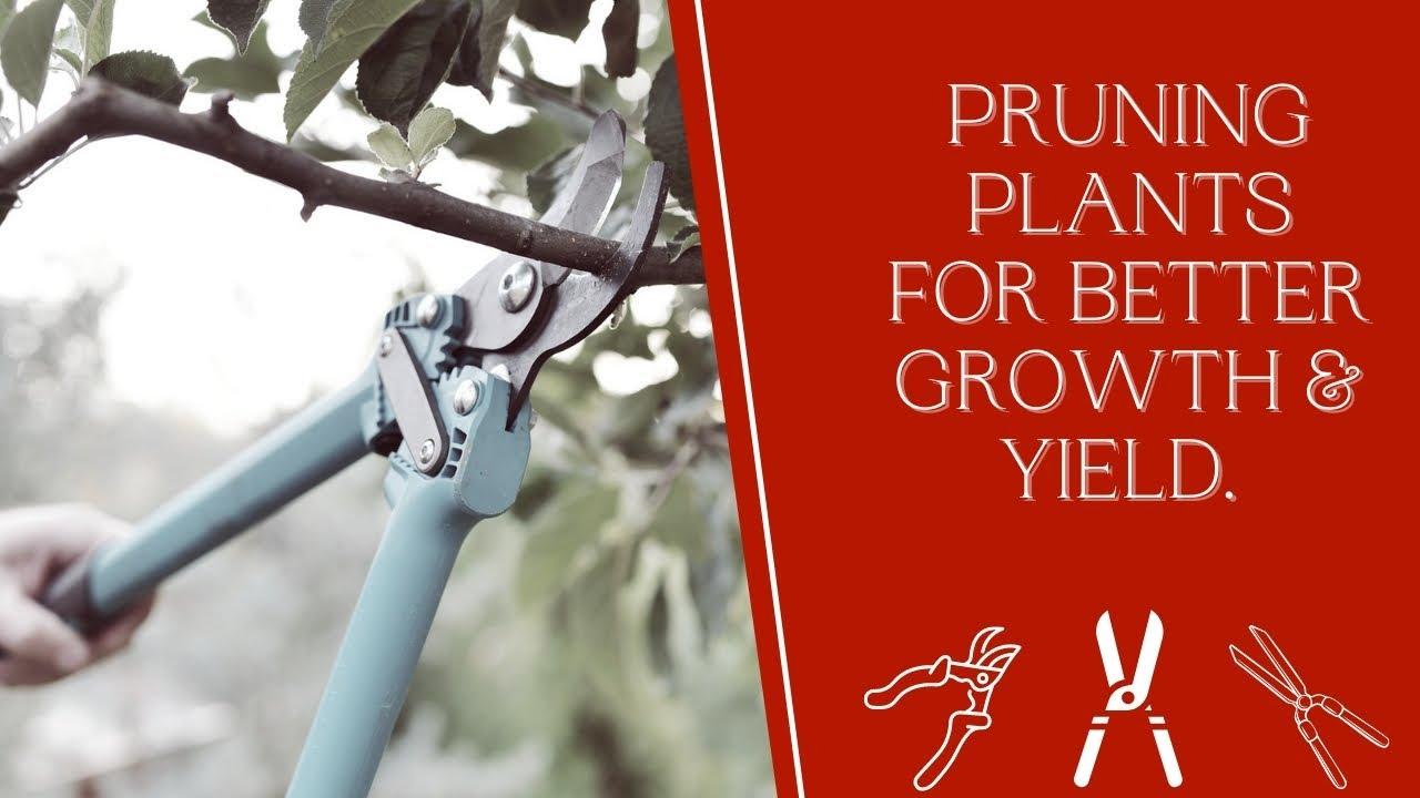 ಗಿಡವನ್ನು ಬೇಗ ಮರವಾಗಿಸಿ [ Pruning Plants for Better Growth & Yield ]
