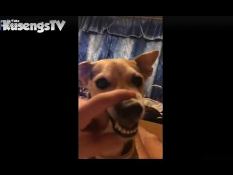Perro diabólico cantando LALALA