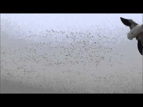 Saskatchewan Snows 11-2-2013 with Pacific Wings Prairie Outfitters