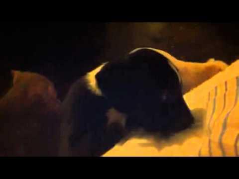 Detroit pittbulls puppys for sale
