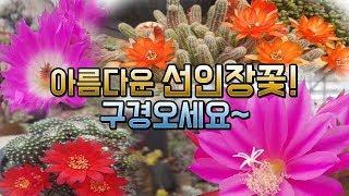 보는사람에게 행복을 주는 선인장꽃~ 구경오세요~(succulent,다육,다육이,다육식물,多肉植物,换花盆,Planta suculenta,たにくしょくぶつ)
