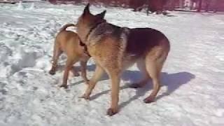 German Shepherd Vs Shar Pei