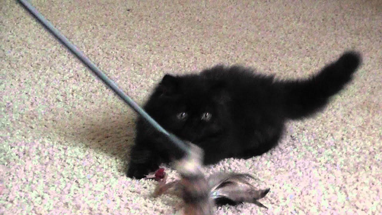 Персидские котята из Питомника Samila-Rich*Bon-Prim