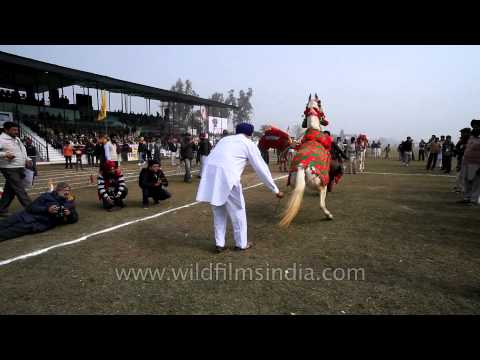 Dancing horse in colourful clothes in Kila Raipur rural olympic