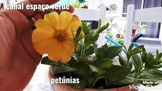 Petúnias como Plantar e Cultivar no Vaso