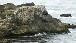 Seagulls, Carmel Highlands