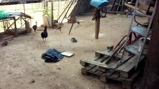 Piolho em galinhas tratamento