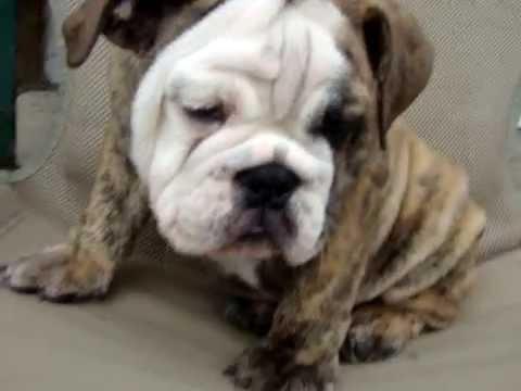 D. B. Bulldogs