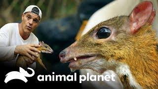 el-ciervo-ms-pequeo-del-mundo-wild-frank-en-busca-del-dragn-animal-planet