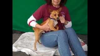 A4832794 Tommy | Miniature Pinscher/chihuahua Mix Puppy