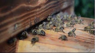 Видео инструкция по заселению Роя в улей Варре. Как заселить пчелами самодельный улей?(Альтернативные Технологии Счастливой Жизни читайте и смотрите на нашем сайте http://dauspehu.ru/ На днях заселил..., 2014-06-29T11:51:30.000Z)