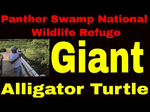 E3:  Panther Swamp National Wildlife Refuge Monster Turtle