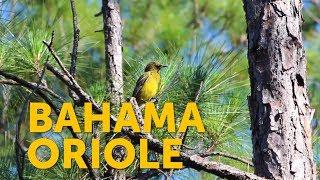 Watch the Bahama Oriole