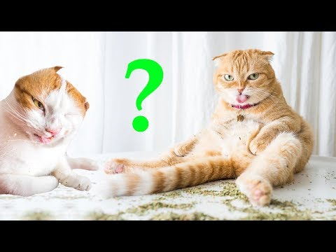 Кошачья мята для чего за 5 декабря