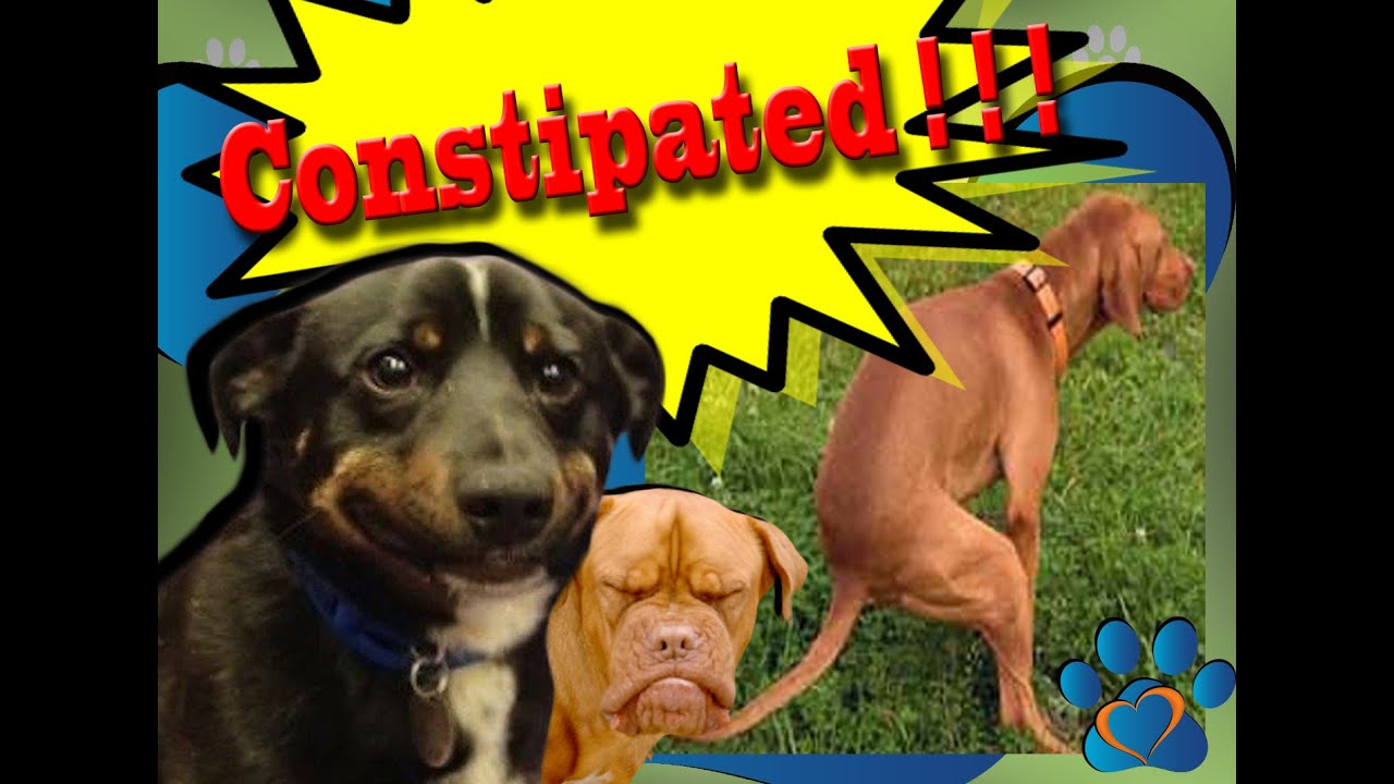 What are some symptoms of canine constipation?