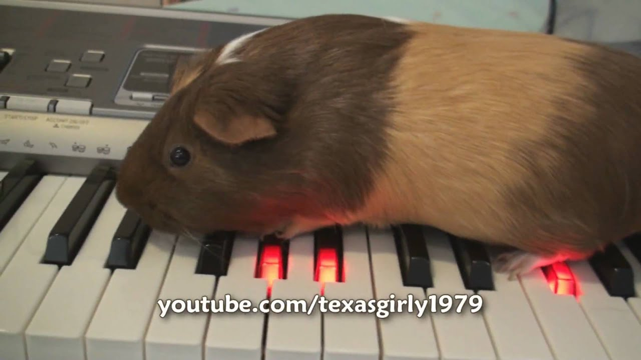 american animal idol   guinea pig plays piano