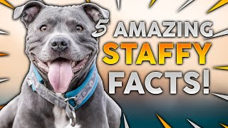 STAFFORDSHIRE BULL TERRIER! 5 Incredible Facts About The Amazing Staffy!