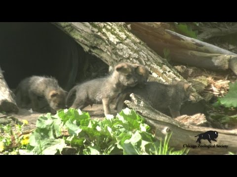Wolf Pups Venture Out of Den!