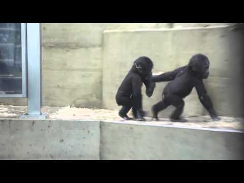Gorillas in Stuttgart, Wilhelma