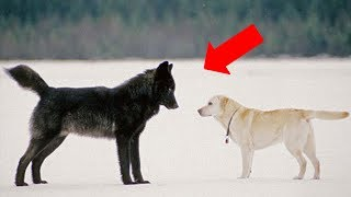 This is what happens when a wild wolf approaches a pet dog thumbnail