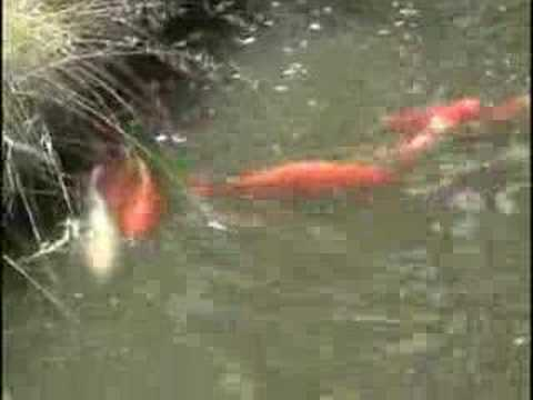 Koi breeding youtube for Koi reproduction