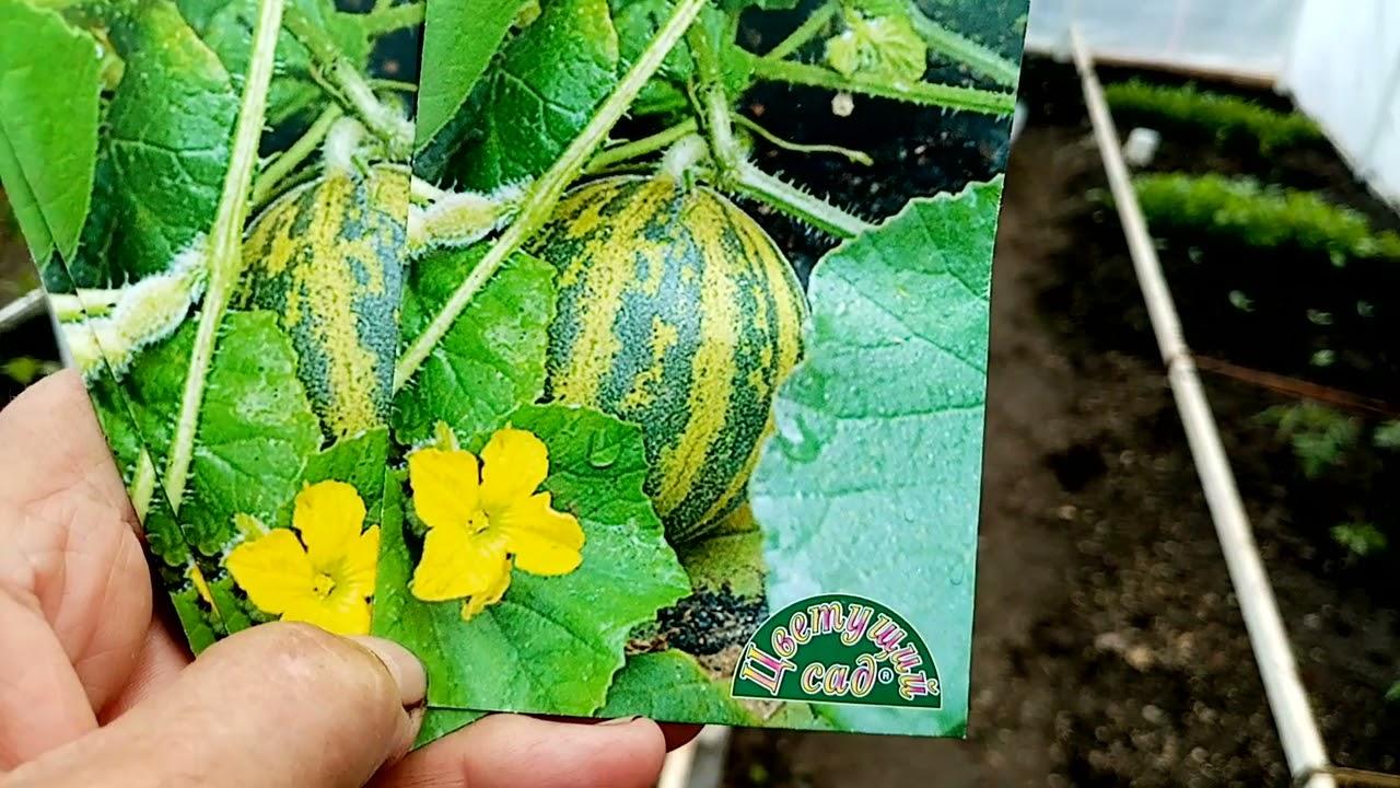 посев тунбергии на рассаду