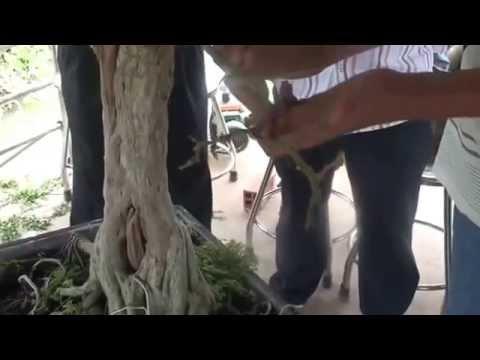 Hướng dẫn trồng tỉa cây linh sam đẹp