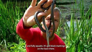 Dice Snake - 60 Second Species