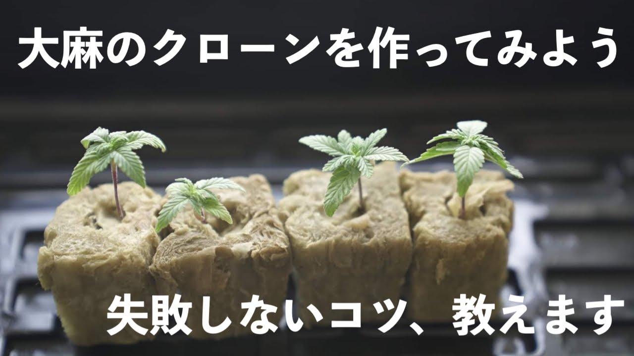 ベランダで大麻を栽培する方法