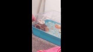 Hamster does BACKFLIP (not click bait)