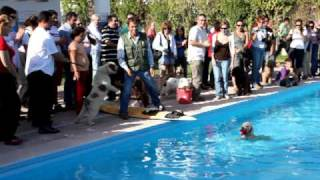 [Spanish Water Dog Diving (Perro de Agua Español)]