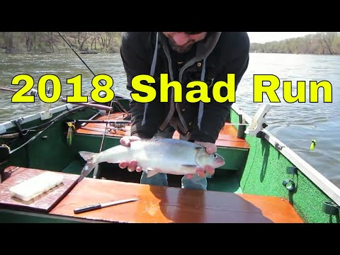 Shad Run 2018 Delaware River With Pop Good Times!