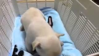 子犬のブリーダー直販支援サイト「子犬の窓口」 北林ブリーダーのフレン...