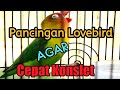 Masteran Pancing Lovebird Jantan Dobelan Minor  Mp3 - Mp4 Download