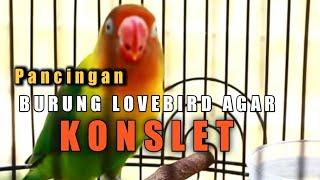 Download lagu Masteran. Pancing lovebird jantan Dobelan minor