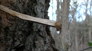 How To Get Water From Trees!