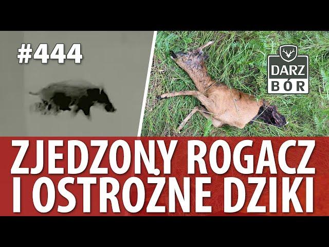 Darz Bór odc 444 Zjedzony Rogacz i ostrożne dziki.