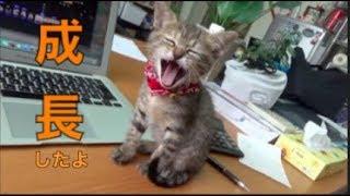 [子猫] はちの一ヶ月の成長のすべて 2017.8.8〜  [保護猫][柴犬][可愛い][癒し] thumbnail