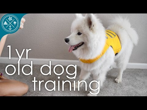 Dog training and tricks - 1 yr Samoyed