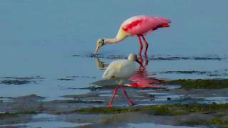Video Roseate Spoonbills at Sanibel Causeway download MP3, 3GP, MP4, WEBM, AVI, FLV Oktober 2018