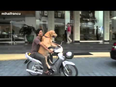 Funny Dogs Riding On Motorcycles Compilation 2014 NEW