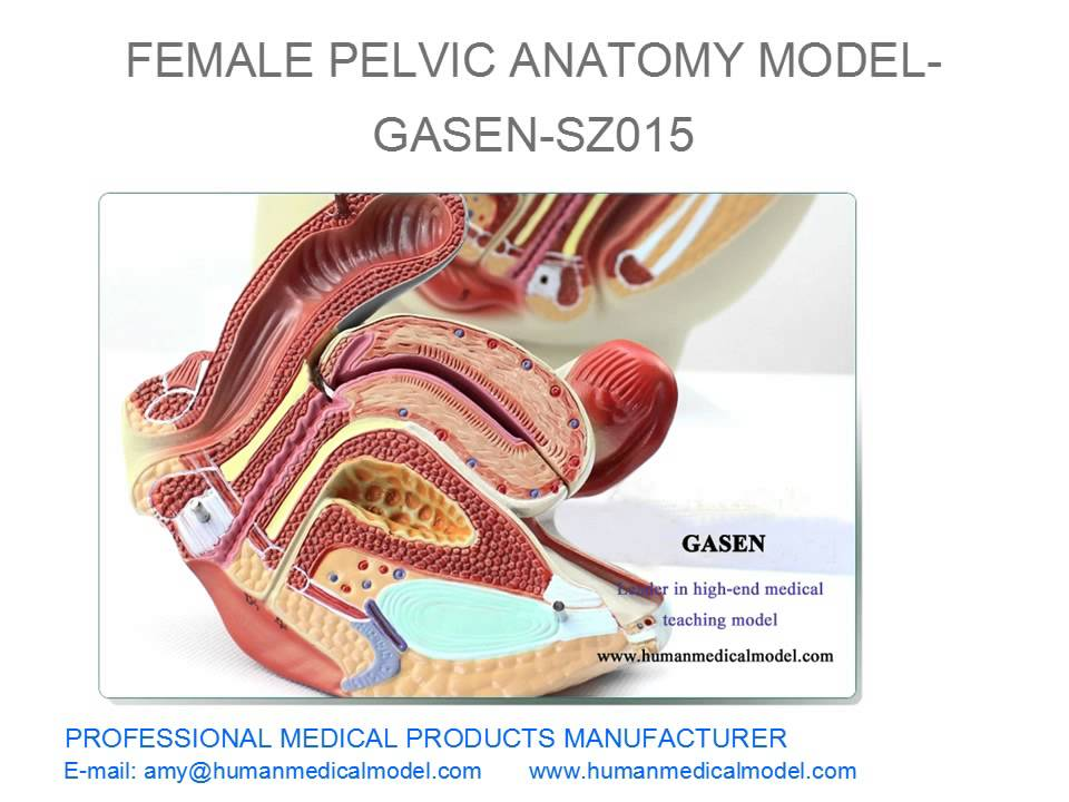 Genitourinary Medical Aids Uterus Model Female Pelvic Anatomy Model